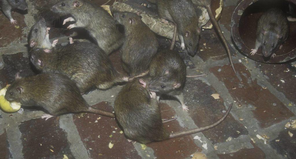 уничтожение крыс в Нижнегорском